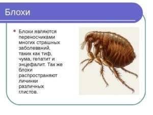 Блохи – маленькие паразиты