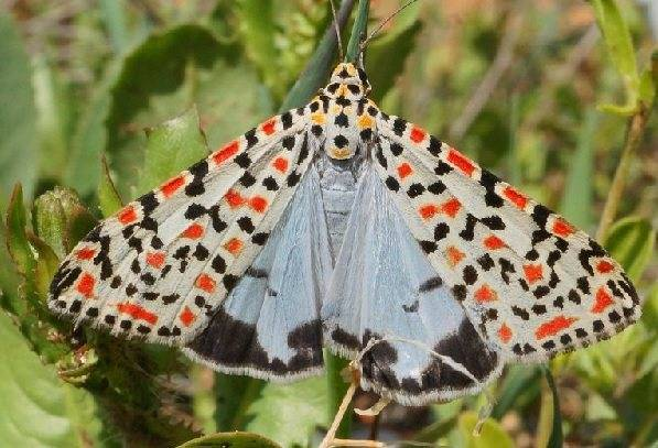 Ночная бабочка медведица. бабочка медведица госпожа – летнее чудо у ручья. как определить гусеницу