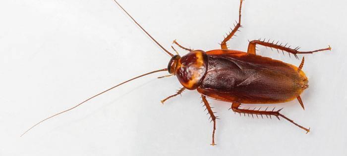 Фипронил от тараканов: обзор препаратов на его основе