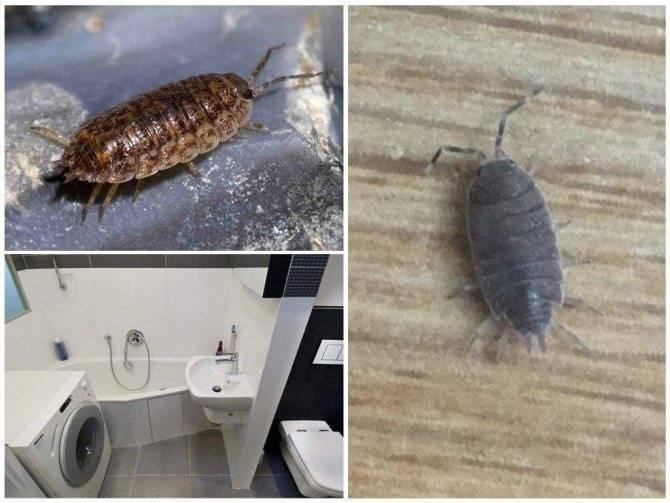 Насекомое в квартире — белая мокрица. каковы причины появления и как избавиться от вредителя?
