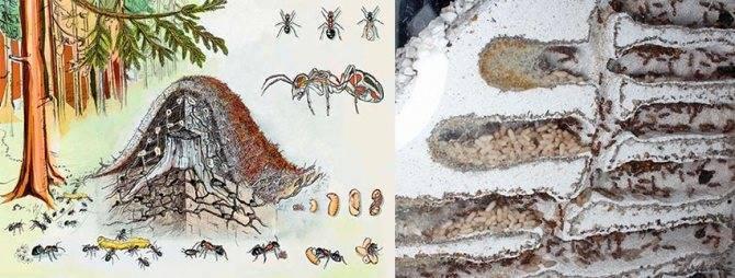 Что делают зимой муравьи. как и где зимуют муравьи?