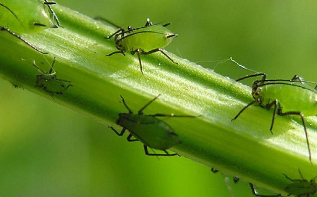 Как бороться с муравьями и тлей в саду и на даче