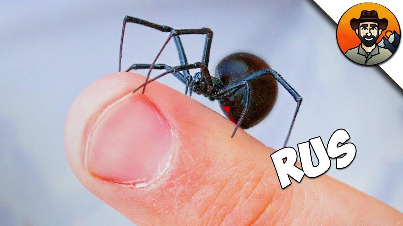 Черная вдова паук фото размер