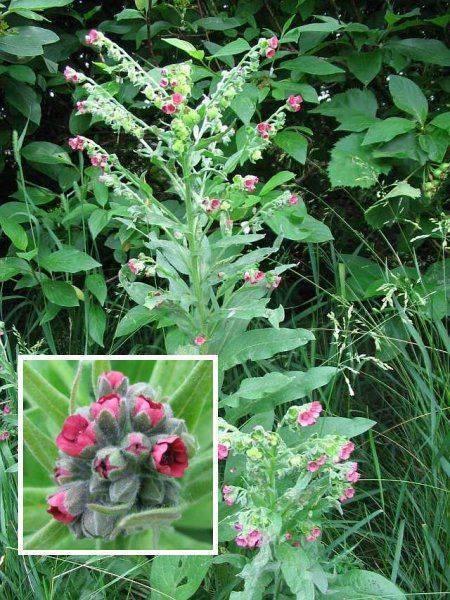 Трава чернокорень фото. чернокорень лекарственный: борьба с мышами и другими вредителями сада и огорода