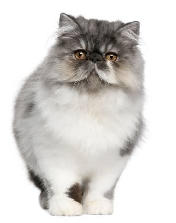 Власоеды у кошек — откуда возникли и как вылечить питомца