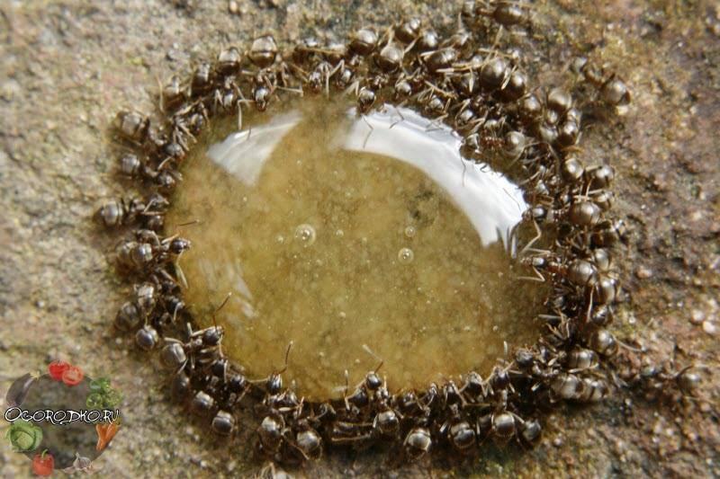 Пшено от муравьев на дачном участке