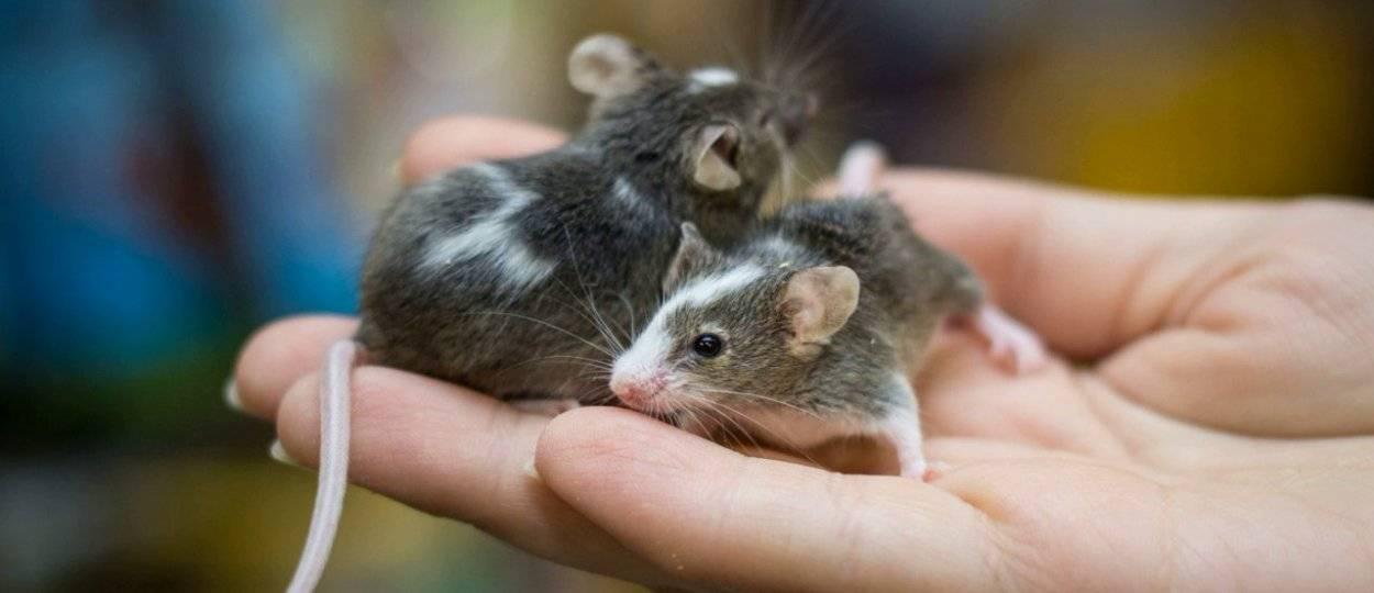 Как стать главой мышиной семьи?