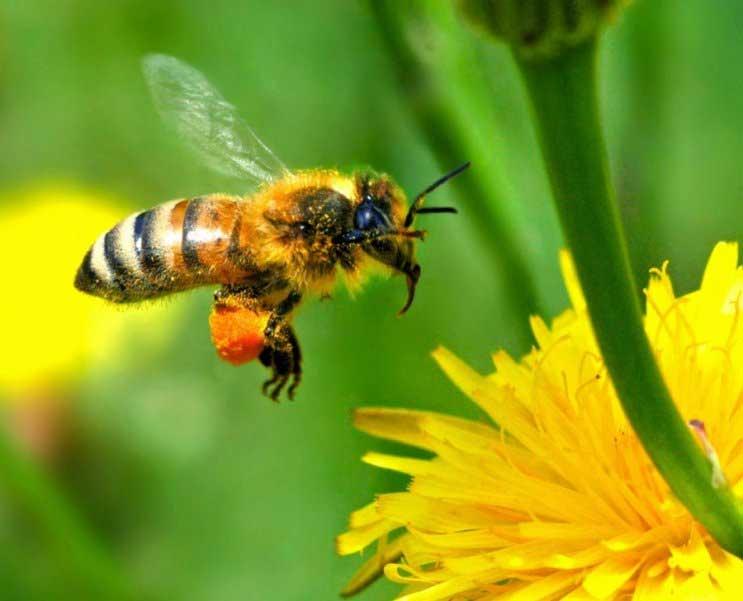 Пчелы — интересная информация