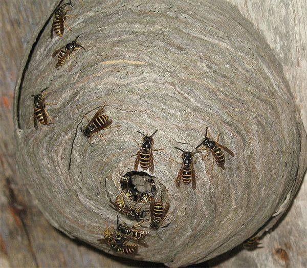 Где зимуют осы, спят ли насекомые в холодный период года? могут ли насекомые спать? рождение и устройство гнезда