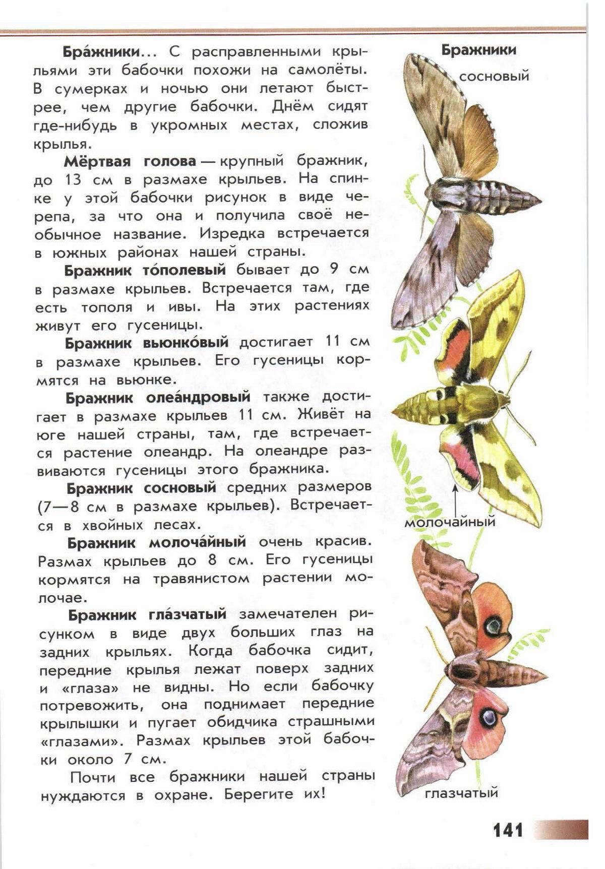 Бабочка бражник (бабочка колибри)