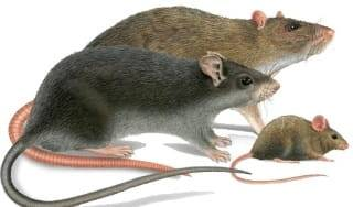 Мыши и крысы: отличительные особенности, сходства и различия во внешнем виде и поведении