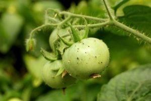 Что выбрать для уничтожения белых мошек на помидорах?