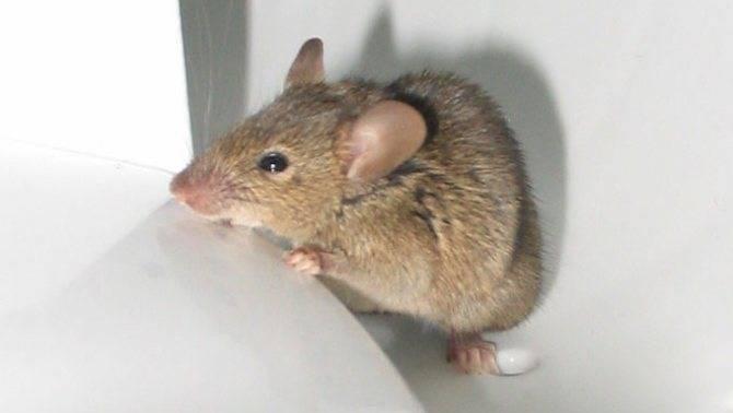 Какую приманку класть в крысоловку или мышеловку?