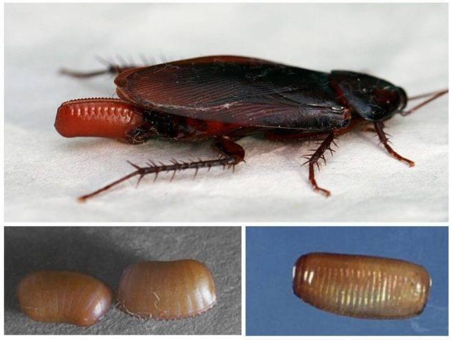 Как размножаются тараканы. что собой представляют тараканы?