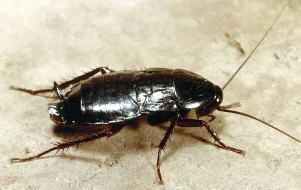 Разновидности тараканов, образ жизни, среда обитания и поведение. виды тараканов (разновидности) и экзотические домашние тараканы, фото, видео серые тараканы в квартире