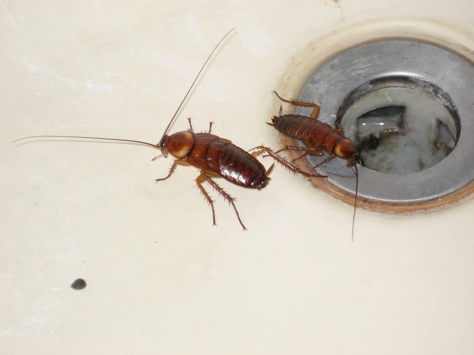 Сколько лет живут домашние, рыжие, черный тараканы и прусаки? сколько без еды, без воды, без головы