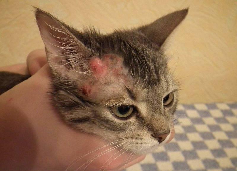 Почему кошка чешется, если нет блох