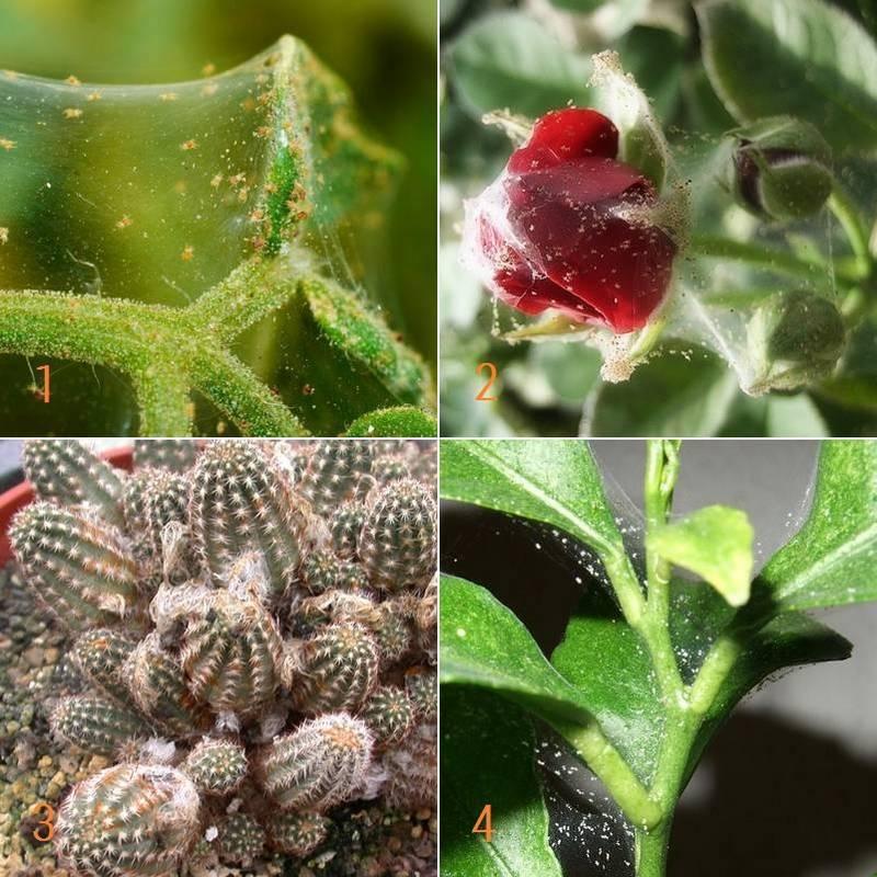Как бороться с паутинным клещом на комнатных цветах