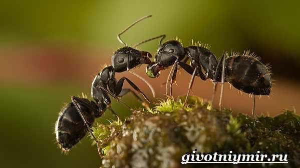 Дыбка степная: образ жизни и размножение хищного кузнечика. степная дыбка - исчезающий кузнечик что ест кузнечик в степи