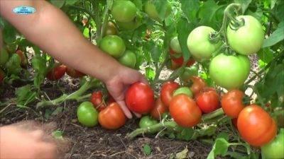 Народные и промышленные средства против тли на рассаде помидоров
