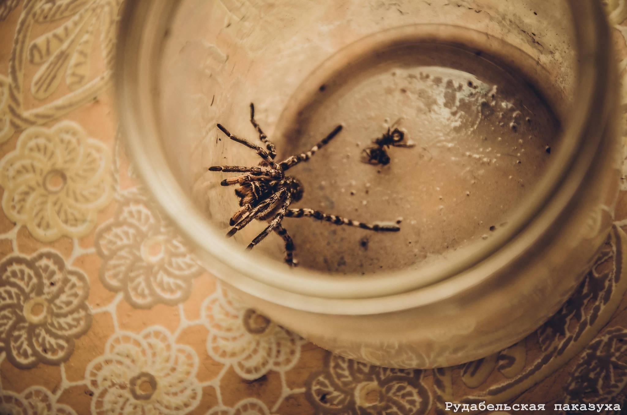 Где обитает паук тарантул. необыкновенный паук тарантул и многообразие его видов