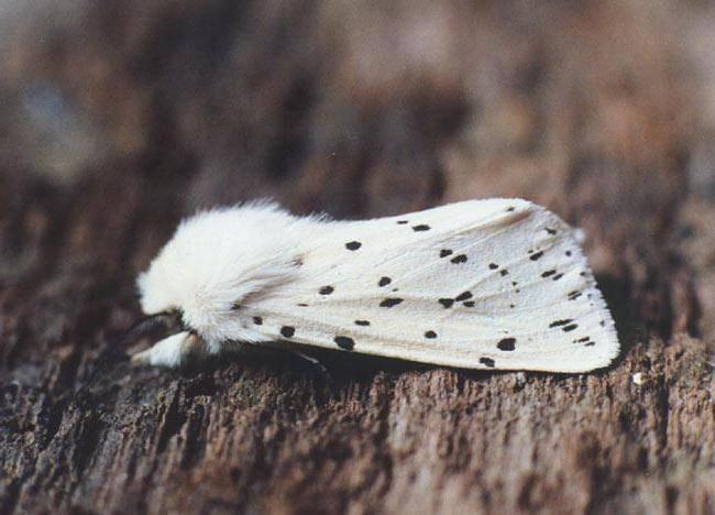 Платяная моль (tineola bisselliella)