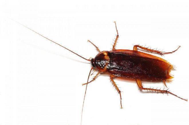 К чему снятся тараканы – расшифровка сна