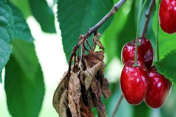 Как избавиться от докучливой тли на вишне?