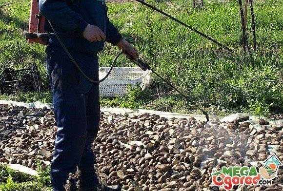 Картофельная нематода: что это, чем опасна и как бороться
