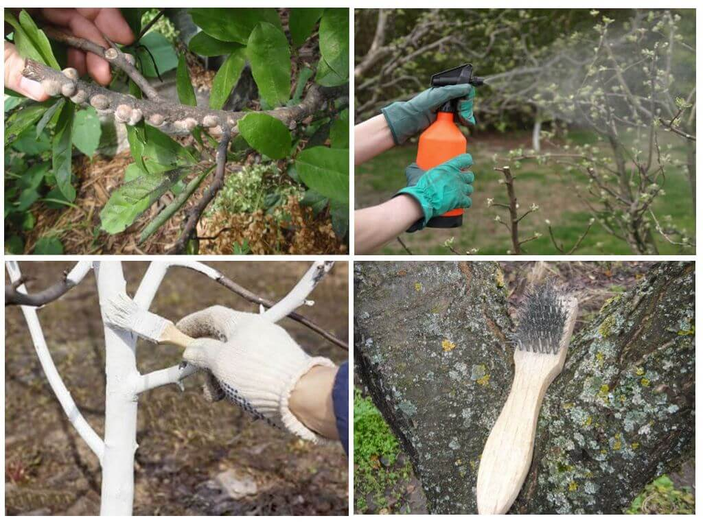 Как избавиться от щитовки в саду: агротехнические приемы и эффективные препараты