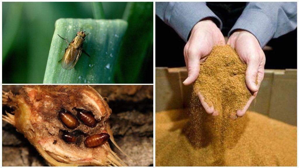 Луковая муха и как с ней бороться