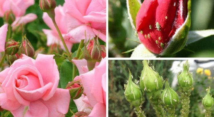 Чем обработать розы от тли: эффективные химические и народные средства