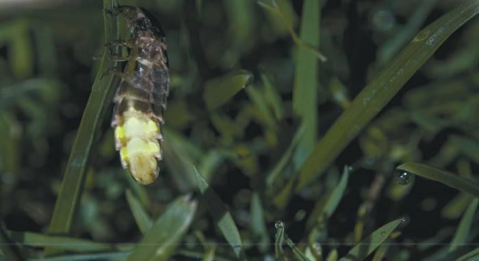Иванов червячок – зеленый маячок в прибрежной траве. живое сияние светлячков! насекомое светляк