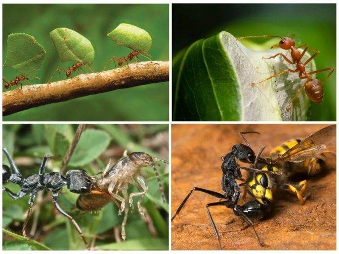 Как бороться с муравьями на капусте — самые эффективные методы