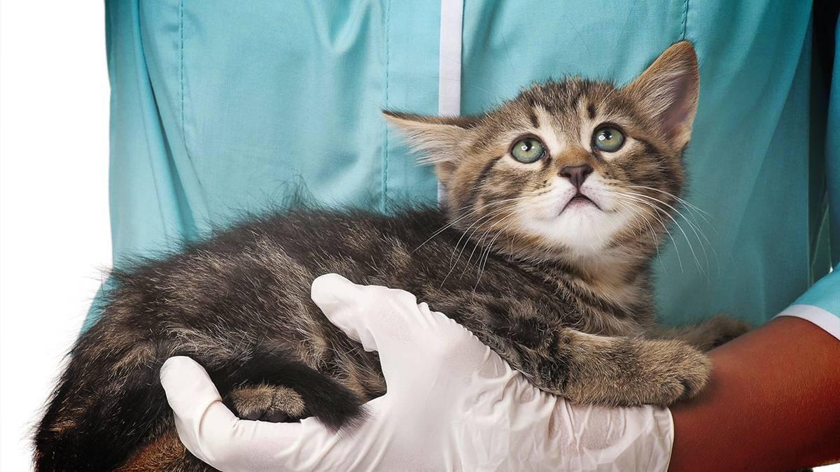Подкожный клещ у кошек: симптомы и лечение опасного заболевания