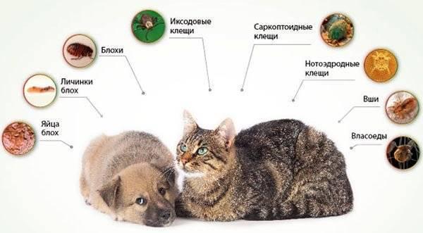 Блохи у кошки – какие признаки указывают на поражение животного насекомыми