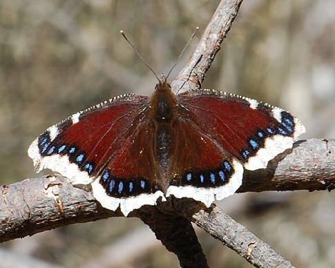 Траурница – красивая бабочка с печальным названием