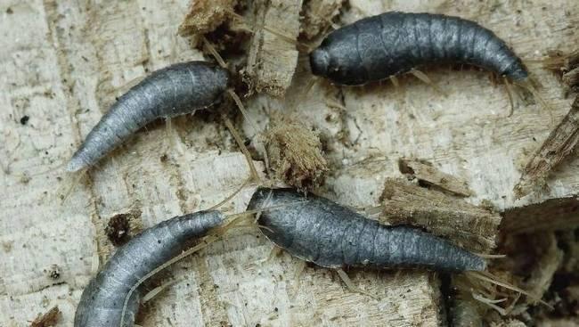 Обыкновенная чешуйница в ванной: как избавиться от мелкого серого насекомого и откуда оно берется