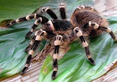 Я паук