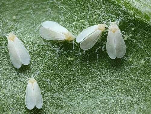 Ростковая муха – виновница плохой всхожести