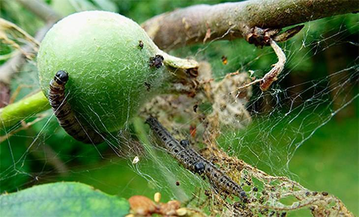 Вредители яблонь: фото, описание и меры борьбы