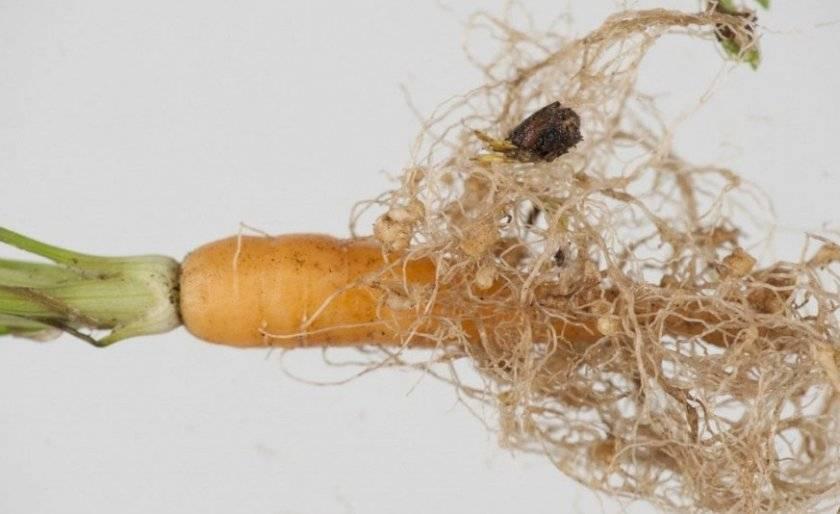 Чем обрабатывать морковь от тли: препараты и народные способы борьбы
