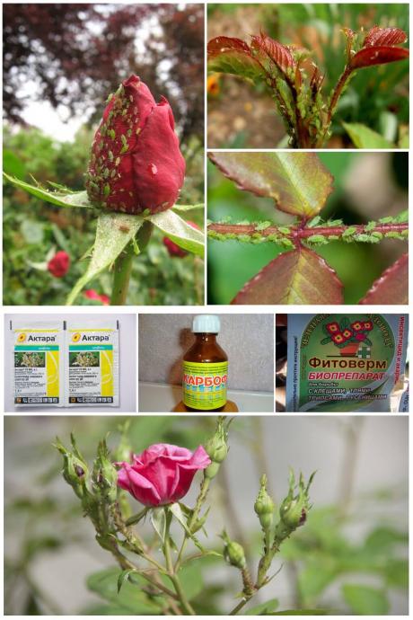 Как избавиться от тли на розах: 4 эффективных способа