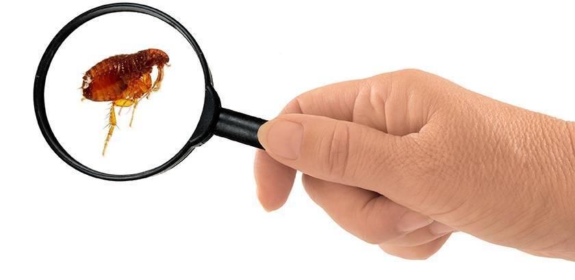 Чем опасны для человека блошиные укусы