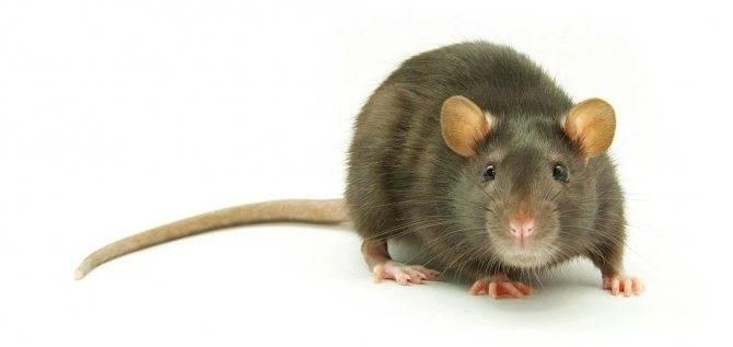 Как избавиться от запаха дохлой крысы под полом