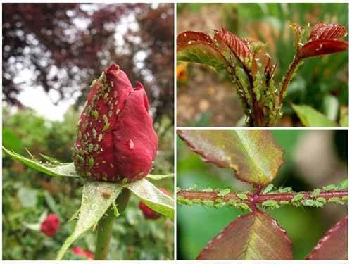 Что делать, если на любимых розах завелась тля: советы цветоводам по спасению растения