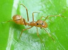 Отрастают ли конечности у муравьев. конечности как идентификационный признак или сколько ног у муравья