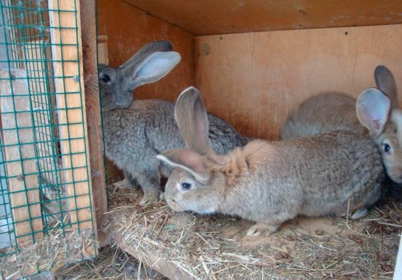 Симптомы и лечение блох у кроликов