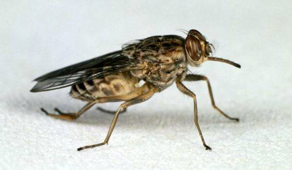 6 фактов о мухе цеце