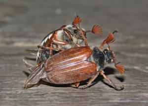Приснилось много майских жуков к чему